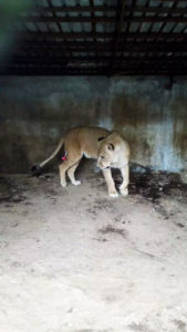 A captive lioness in a filthy, dark, concrete and steel cage